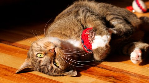 Best Toys for Indoor Cats: A Short Buying Guide
