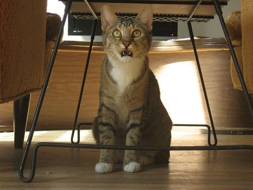 flehmen response cat