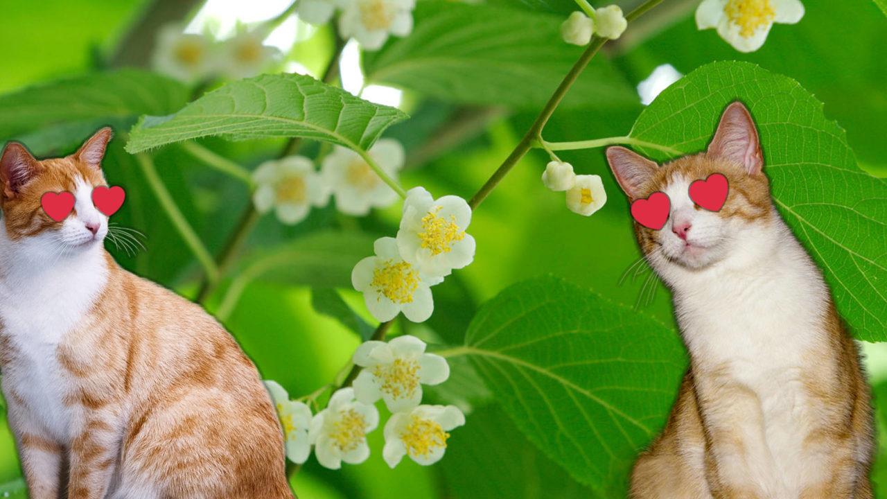 SILVERVINE CATS LOVE