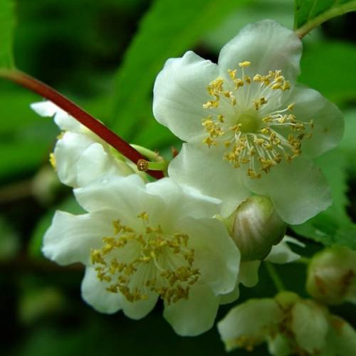silver vine flower