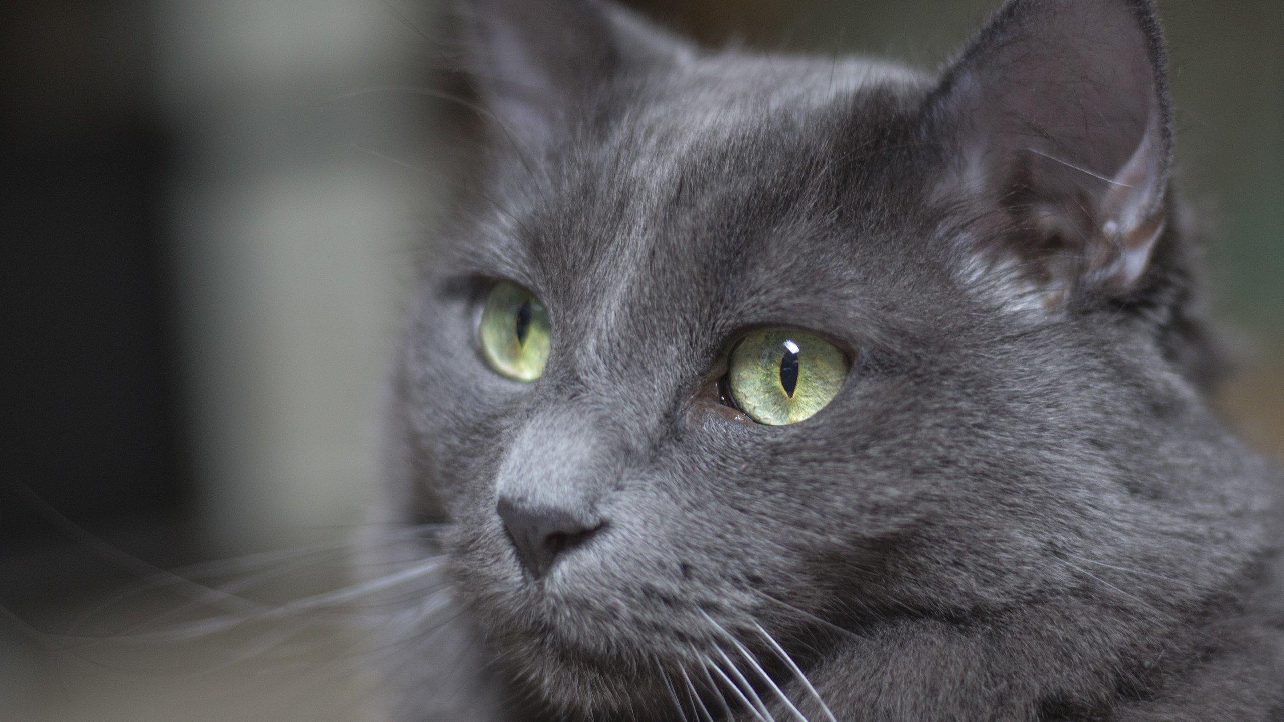 Gray Cat - Cat Wallpaper