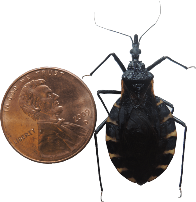 Kissing Bug Size