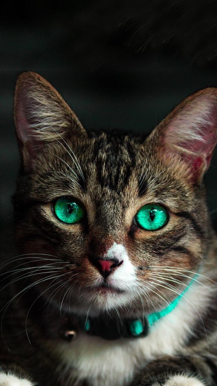 Cute Cats Wallpapers Android Wallpapers Warrior