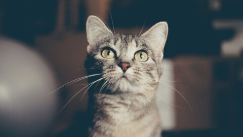 Stress-Induced Hair Loss in Cats