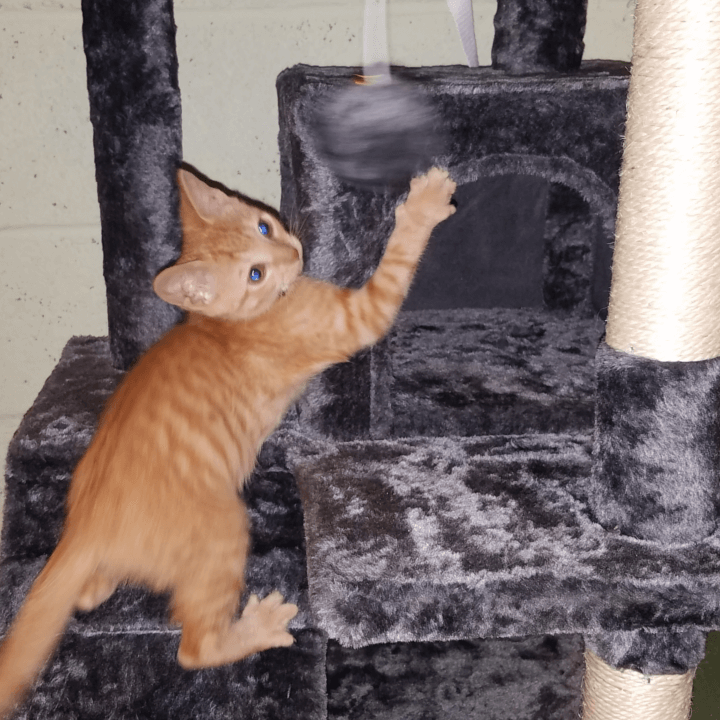Pawscoo Kitten Tree Tower Review