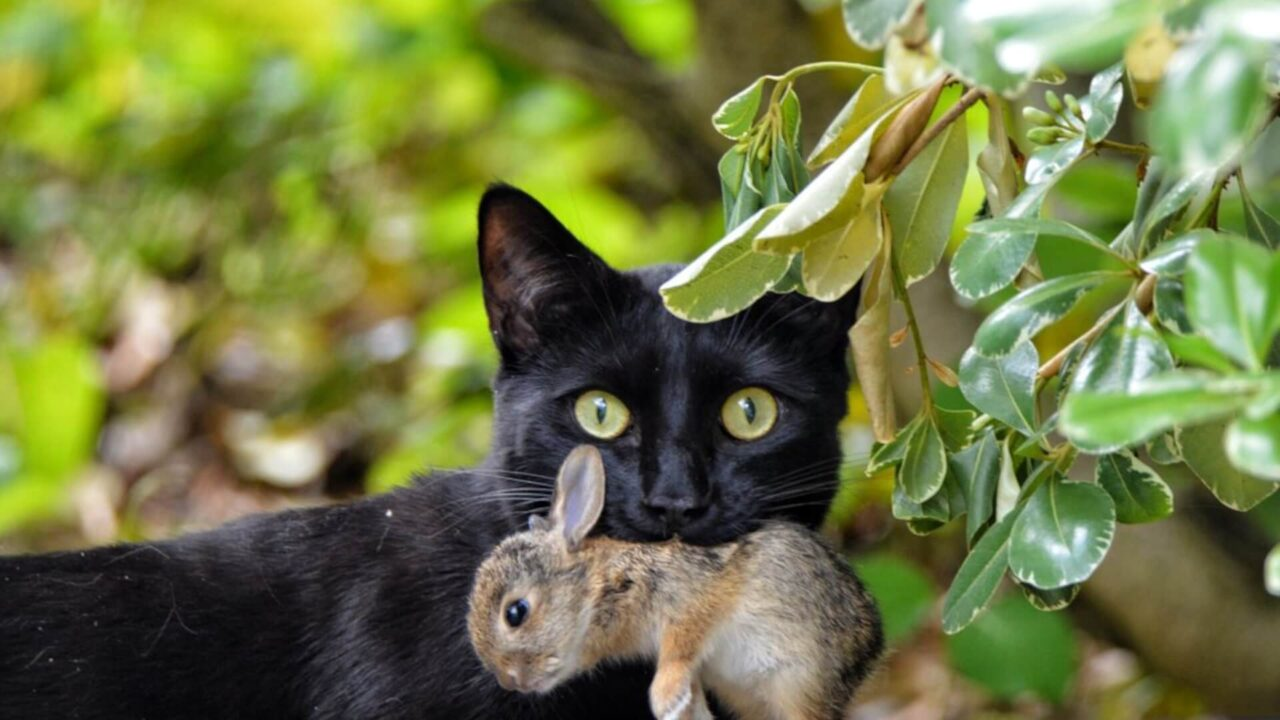Cat with rabbit in mouth