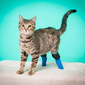 2 legged cat
